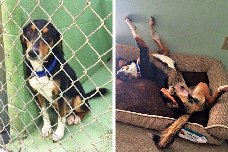 17344960 29644660 497881 6 0 1511209983 1511210000 650 1 1511210000 650 6c6c3bc43c 1511939185 2 - 15 conmovedoras fotos de perros antes y después de ser adoptados, su vida cambió completamente.