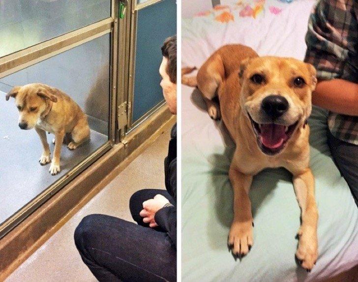 17345160 29640560 497881 2 0 1511209204 1511209213 1500 1 1511209213 650 fddd0d2ab6 1511939185 2 - 15 conmovedoras fotos de perros antes y después de ser adoptados, su vida cambió completamente.