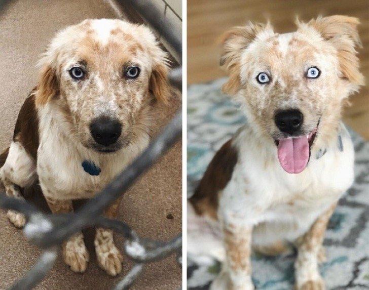 17345210 29639060 497881 0 1511209085 1511209091 1500 1 1511209091 650 b7a7a7a2b5 1511939185 2 - 15 conmovedoras fotos de perros antes y después de ser adoptados, su vida cambió completamente.