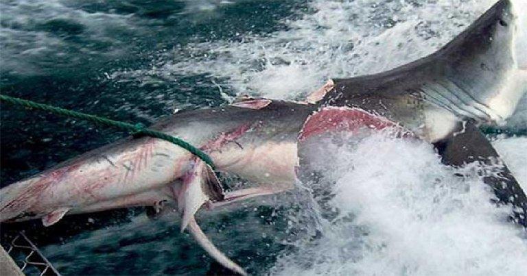 3476 1 - Grande tubarão branco é partido ao meio na costa australiana