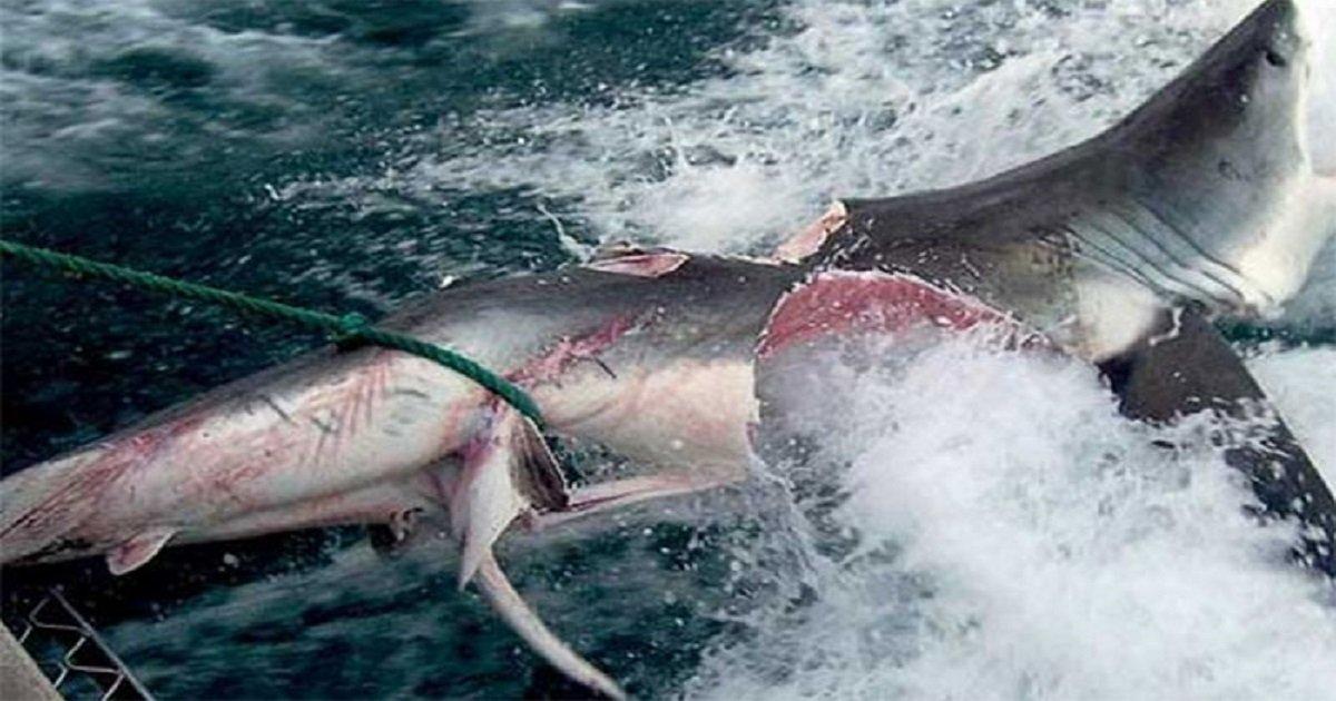 3476 - Esto quedó de un enorme tiburón blanco, aparentemente atacado por algo todavia peor