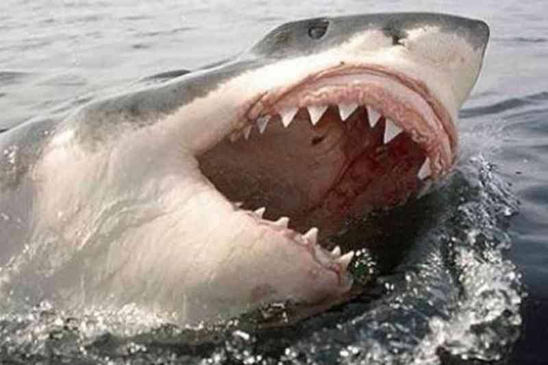 11060 - Esto quedó de un enorme tiburón blanco, aparentemente atacado por algo todavia peor