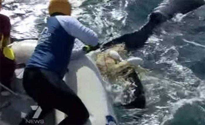 2547 - Esto quedó de un enorme tiburón blanco, aparentemente atacado por algo todavia peor