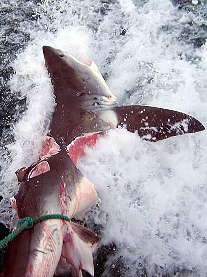 4457 - Esto quedó de un enorme tiburón blanco, aparentemente atacado por algo todavia peor