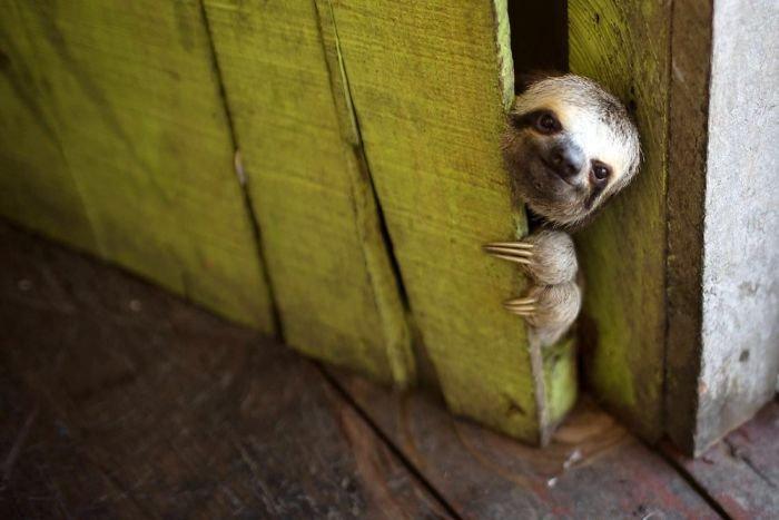 Cute sloths 301 58086516ea66c jpeg  700.jpg?resize=300,169 - 20 photos qui prouvent que le paresseux est le plus mignon des animaux