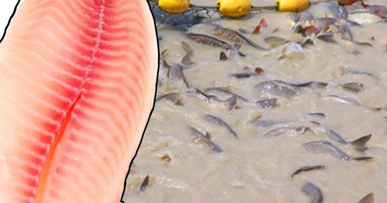doctorswarnaboutthis - Warning: Consuming Tilapia Could Cause Health Problem, Experts Explain