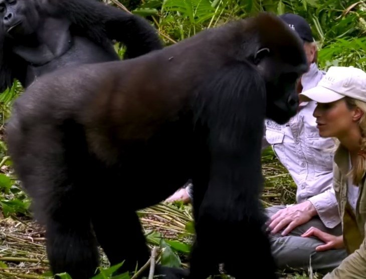 gorillawife2 - Man Visits Wild Gorillas He Raised As Babies, But Watch As He Introduces His Wife For First Time