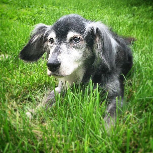 oldest adopted dogs 214 57ac15b9ca203  605 - 20+ Senior Dogs Adopted By Loving People With Huge Hearts
