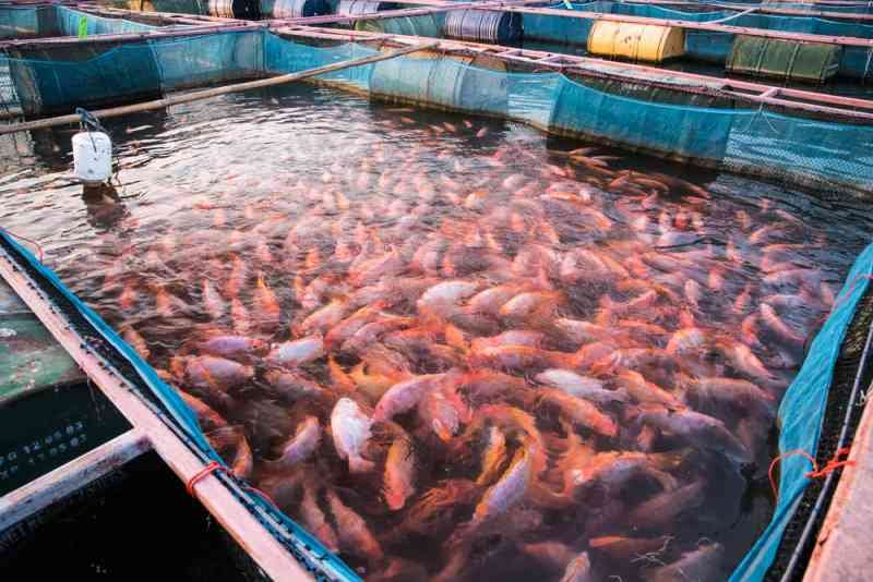 shutterstock 431424379 - Warning: Consuming Tilapia Could Cause Health Problem, Experts Explain