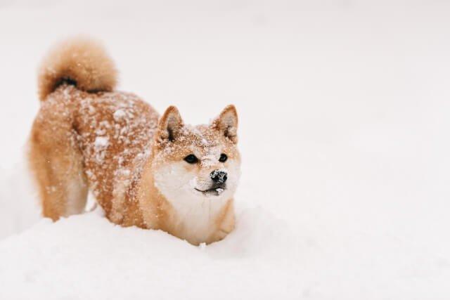柴犬,画像에 대한 이미지 검색결과