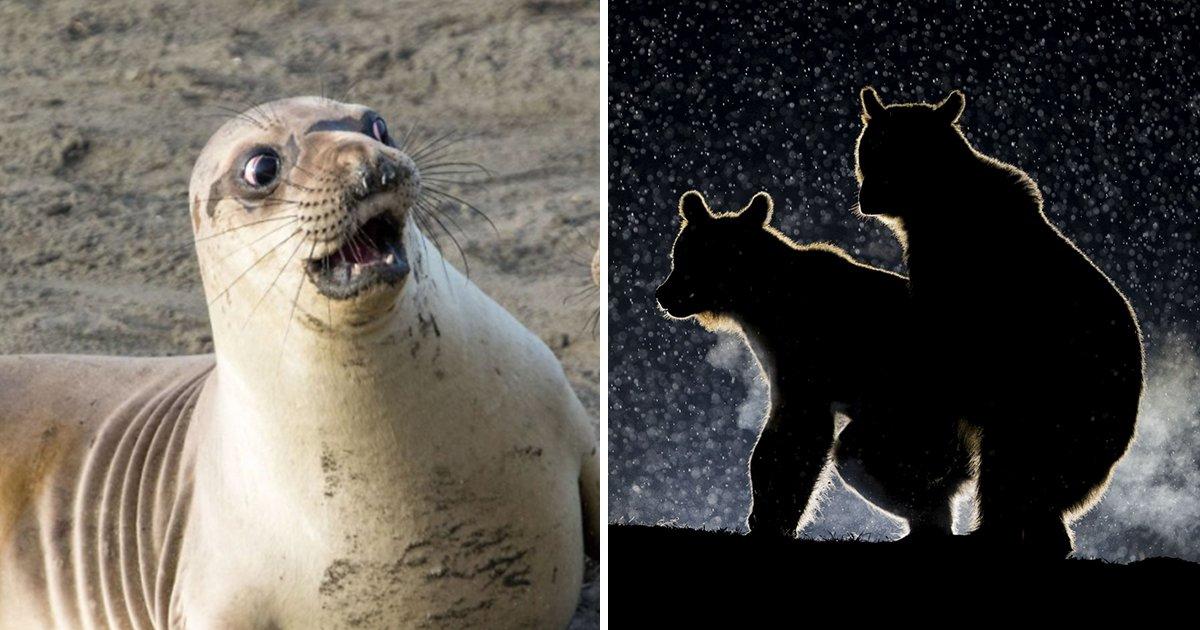 article thumbnail 102.jpg?resize=1200,630 - 2017년 야생동물 '코미디' 사진상 수상 작품들 (사진 14+)