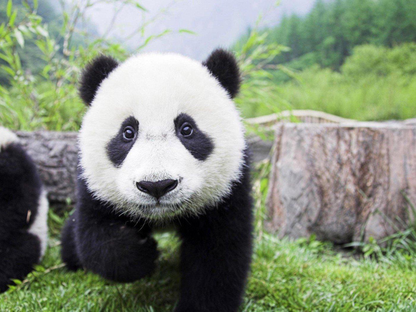 baby panda wallpaper 2 - China ofrece una estupenda oportunidad para trabajar en su país ¡Abrazando osos panda!
