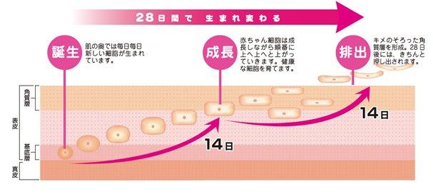 肌 ターンオーバー에 대한 이미지 검색결과