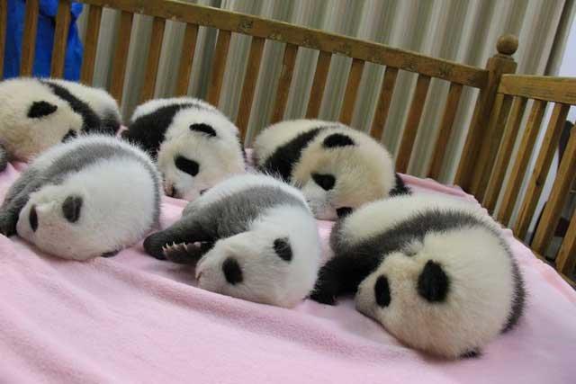 bebes-panda-gigante-2