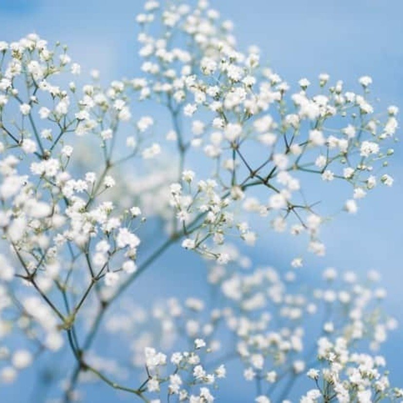 card_gypsophila-157335858_727x485-compressed-60