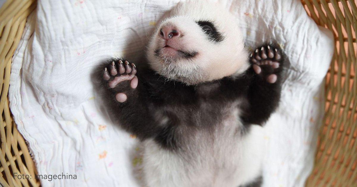 cober5 - China ofrece una estupenda oportunidad para trabajar en su país ¡Abrazando osos panda!