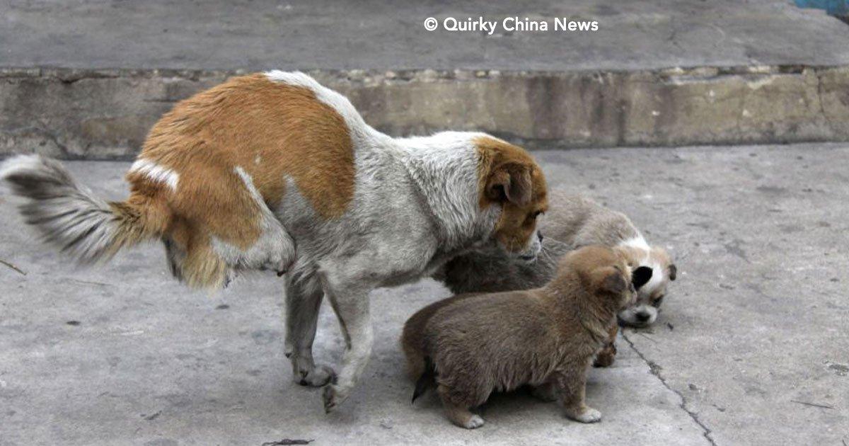 cover 7.jpg?resize=1200,630 - Esta perrita  pesar de tener sólo dos patas, cuidó a sus cachorros como la mejor madre, ¡Es increíble!