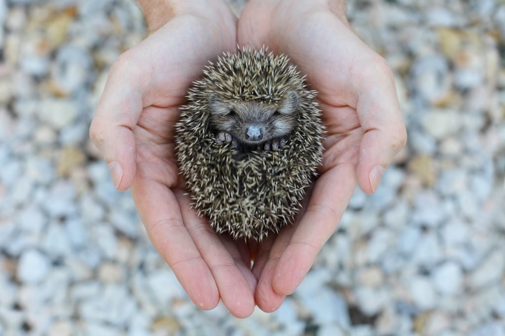 Environment protection: Little animal - hedgehog in human hand