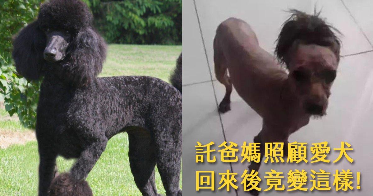 e69caae591bde5908d 1 12 - 託爸媽照顧愛犬,一個月回來後貴賓變成一匹馬!?