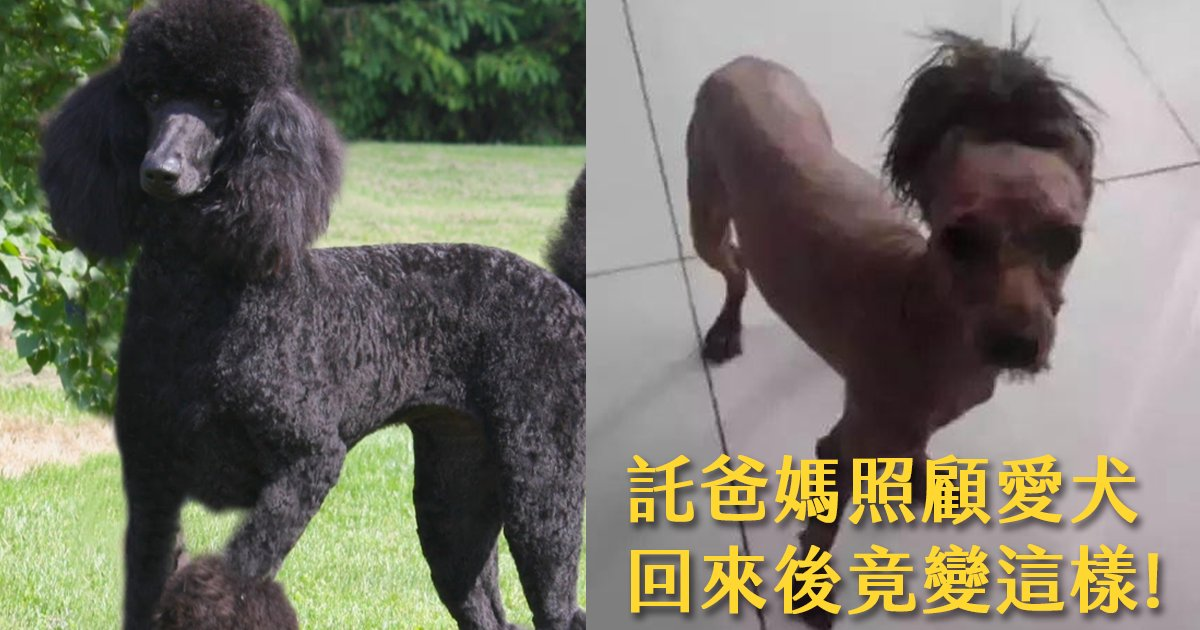 e69caae591bde5908d 1 12.png?resize=648,365 - 託爸媽照顧愛犬,一個月回來後貴賓變成一匹馬!?