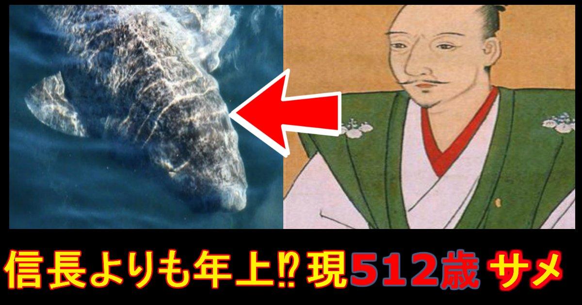 "e784a1e9a18chh.jpg?resize=300,169 - ""織田信長""より約30年も先輩です。512歳のサメ発見!"
