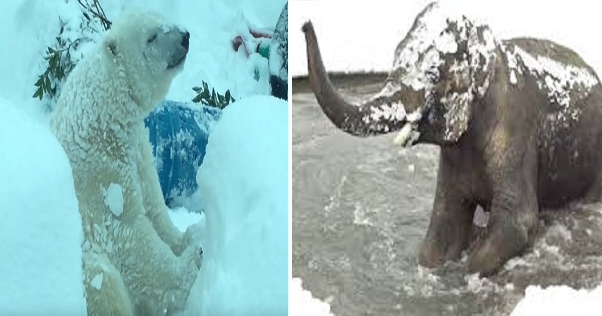 ec8db8eb84ac12 6 - 動物園因大雪強制閉園一日,攝影機卻拍到動物們超開心玩雪畫面!