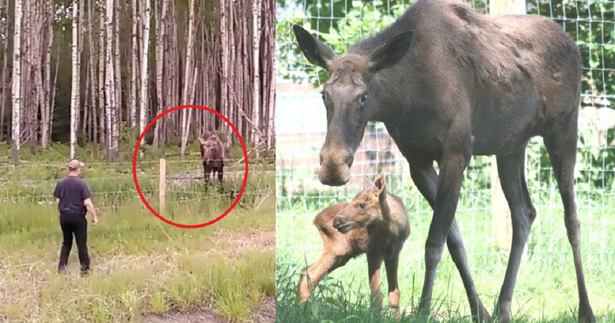 eca09cebaaa9 ec9786ec9d8c 46.png?resize=636,358 - Video Captures Brave Man Risking Life To Untangle Baby Moose From Wire Fence