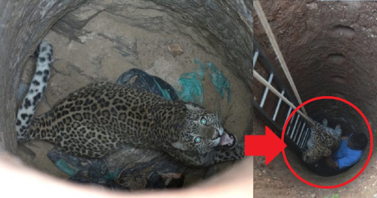 eca09cebaaa9 ec9786ec9d8c1 6 - Leopard Stranded Within 30ft Deep Well But LocalsRescued Him Like This