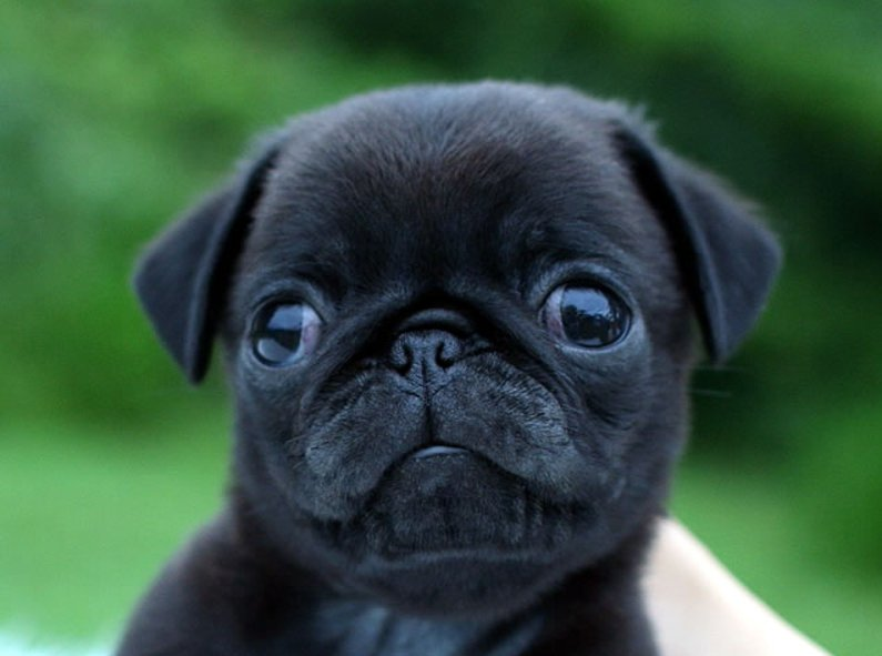 img 5a45fce9af7a6.png?resize=1200,630 - どんな種類がいるの?「黒犬」の知識