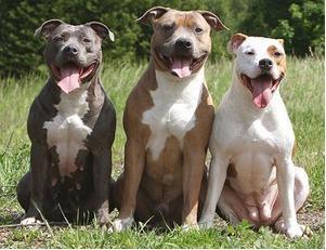 img 5a488968e4bb5.png?resize=1200,630 - 頑固な愛すべきピットブルという犬について