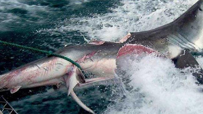 main 3.jpg?resize=1200,630 - Ce requin s'est fait dévoré… par un de ses propres congénères !