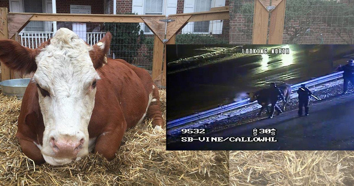 mainphoto vache.jpg?resize=1200,630 - Cette vache s'est enfuie d'une crèche vivante… deux fois !
