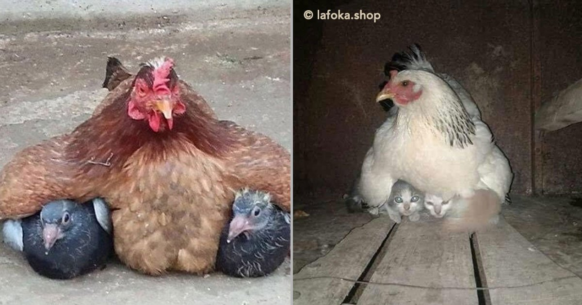 portada 8.jpg?resize=1200,630 - 12 simpáticas mamás gallina que se esmeraron en cuidar a sus crías sin importar de qué especie eran.