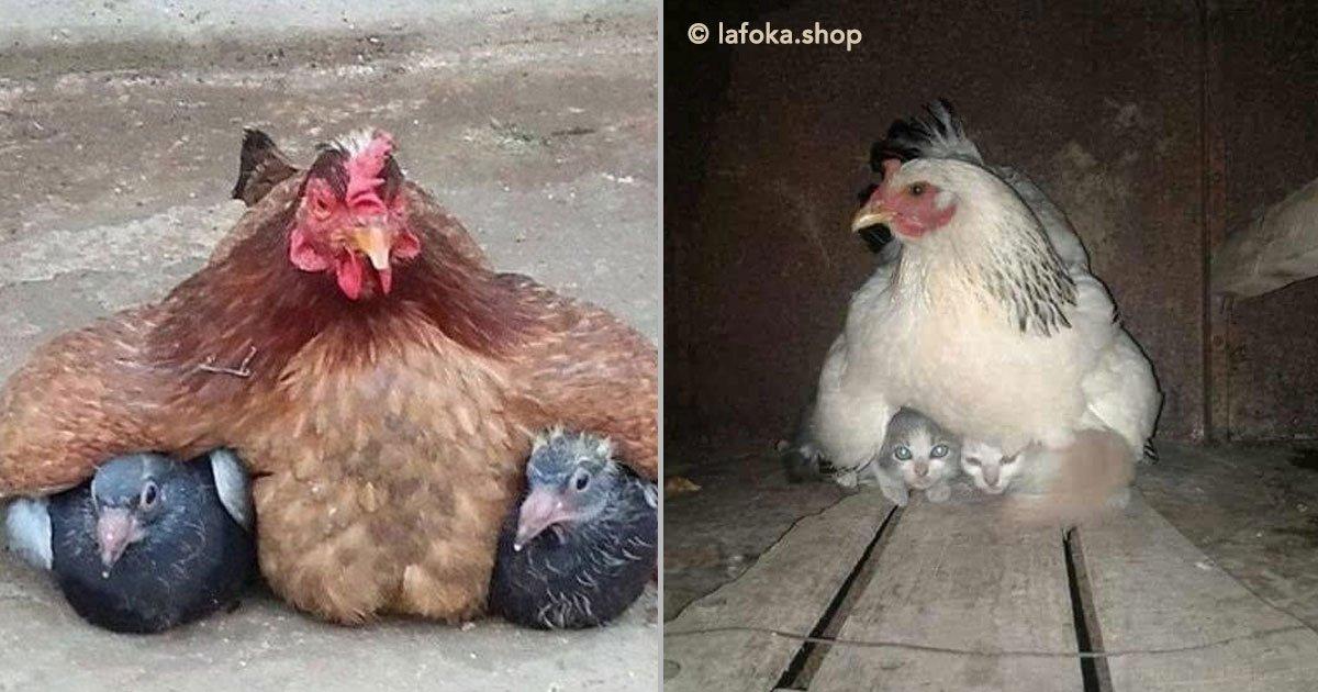 portada 8.jpg?resize=648,365 - 12 simpáticas mamás gallina que se esmeraron en cuidar a sus crías sin importar de qué especie eran.