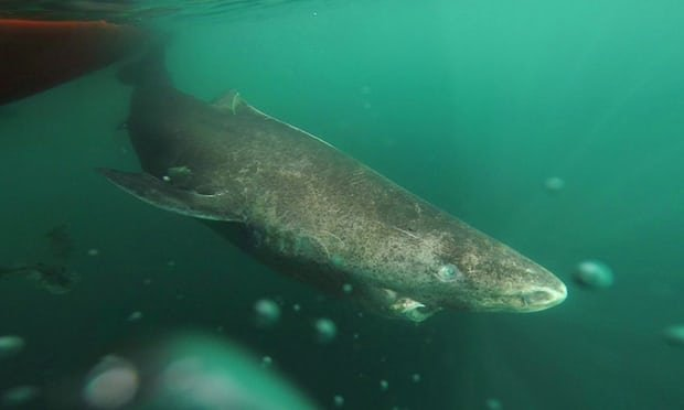 shark1.jpg?resize=636,358 - World's Oldest Vertebrate Alive: A 512-Year-Old Shark Caught In Denmark