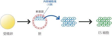 ES細胞やiPS細胞에 대한 이미지 검색결과