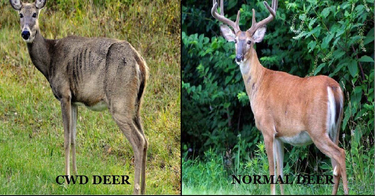 thumb nail deer - A fatal disease found in deer carcasses, has already spread to more than 20 states.