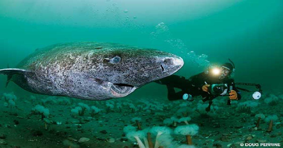 thumbnail sharkkkkkk - Longest Living Shark Captured In Greenland. Scientists Estimate It To be 400 Years Old.