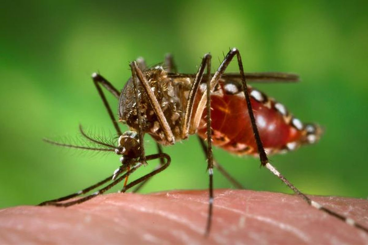 wikimedia_commons_aedes_aegypti_mosquito-0-0