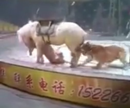 22 8 300x250 - Tiger and Lion Brutally Attack Horse During Circus Rehearsal