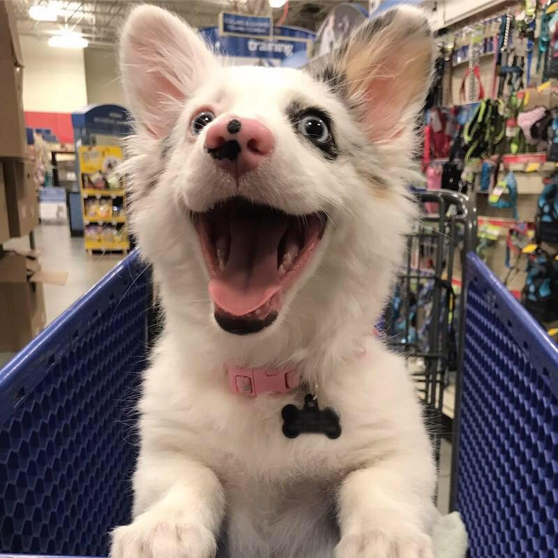26169634 383403295457919 8901551763822345313 n.jpg?resize=300,169 - Woman Brings A Corgi To Target And This Corgi Is Way Too Cute!