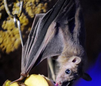 A fruit bat is hanging on a tree at the Amneville zoo, eastern France. Recently, Vampire bats infected with rabies have caused the deaths of several people in a remote part of the Amazonian rainforest. (Jean-Christophe Verhaegen/Getty Images )