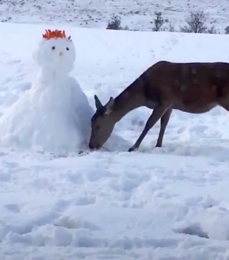 deerinvestigate - Deer Looks Curiously At Unusual Snowman. What She Does Next Has Internet In Laughter
