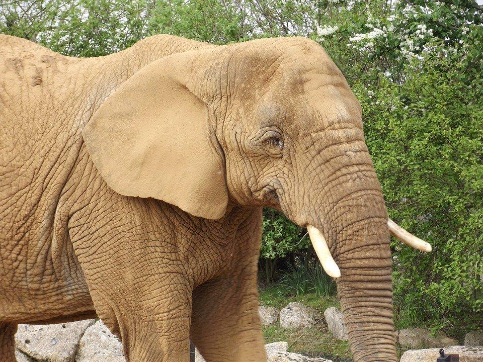 코끼리, 귀, 얼굴, 대형, 동물, 트렁크, 야생 생물, 아프리카의, 머리, 동물원