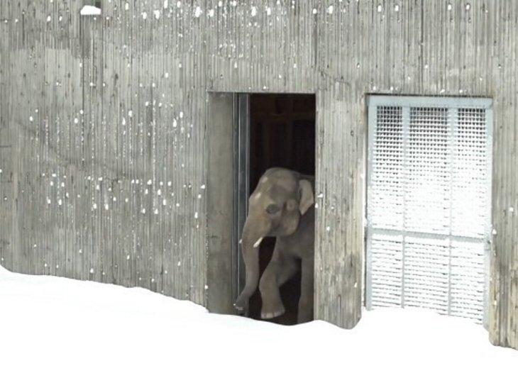 polarbear2 - Le zoo doit fermer à cause de la neige...Les caméras surprennent les animaux au paradis!