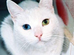 beautiful-cat-cute-eyes-technicolor-eyes-favim-com-143385