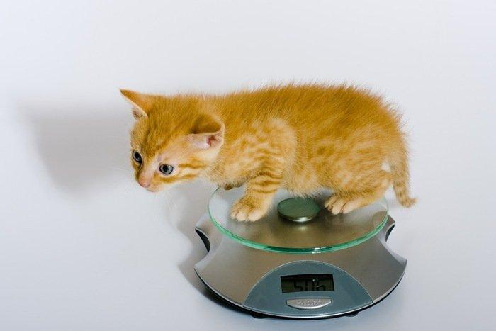 猫 サイズ別에 대한 이미지 검색결과