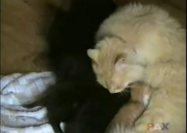 cat taking care of newborn puppies cat 600x429 - Cat Taking Care of Newborn Puppies Ignored by their Mother Dog