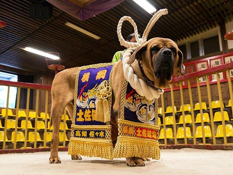 土佐犬 鎌倉時代에 대한 이미지 검색결과