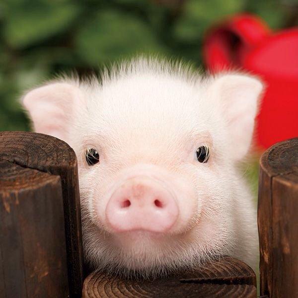 豚 かわいい에 대한 이미지 검색결과